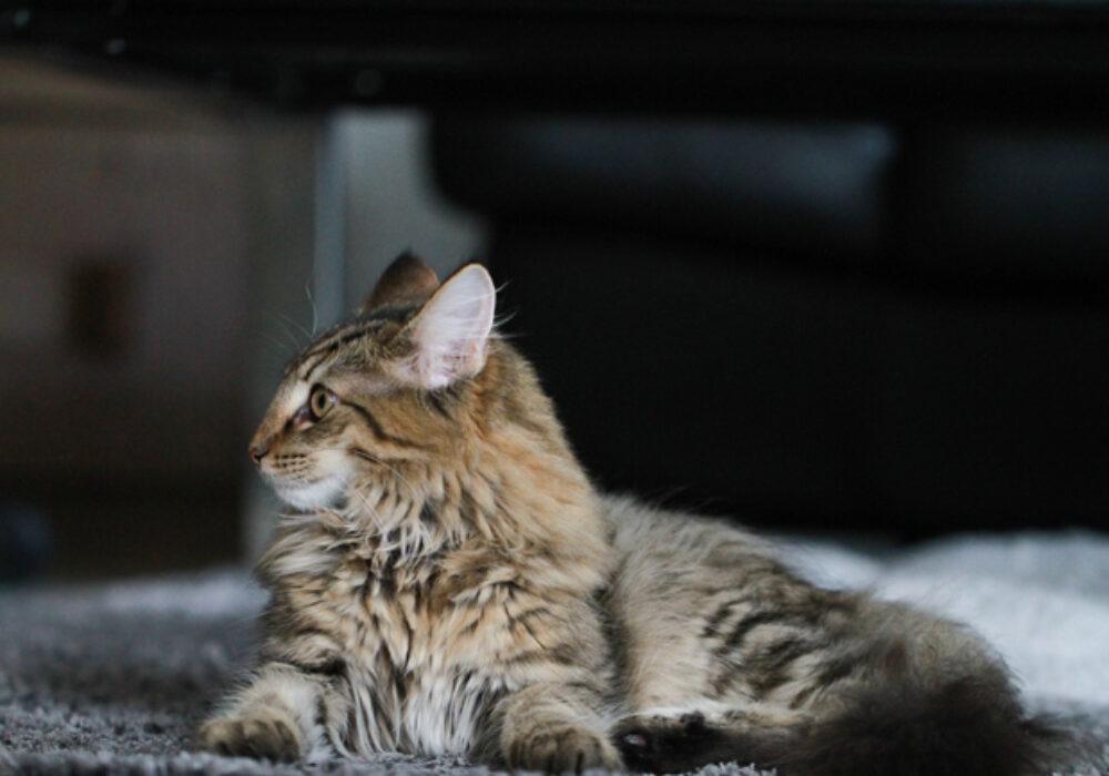 Gioco per Gatti, una App Android